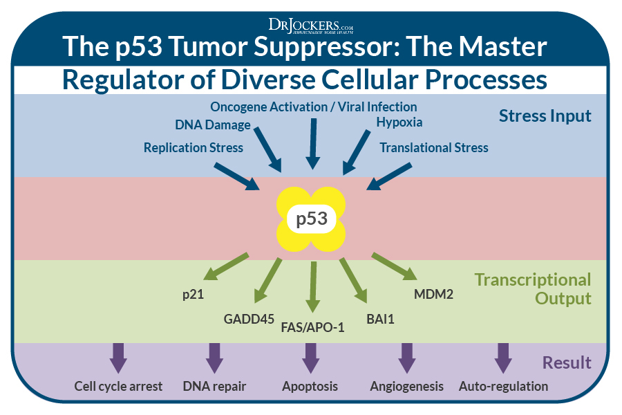 p53 gene, The p53 Gene and Cancer Development