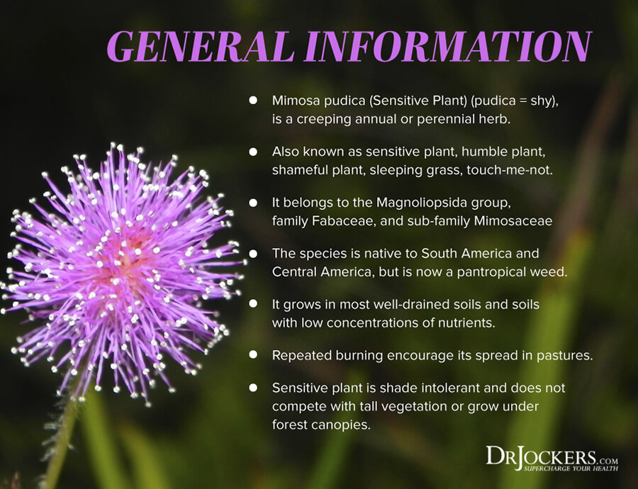 mimosa pudica, Mimosa Pudica –  The Most Powerful Herb for Parasites?