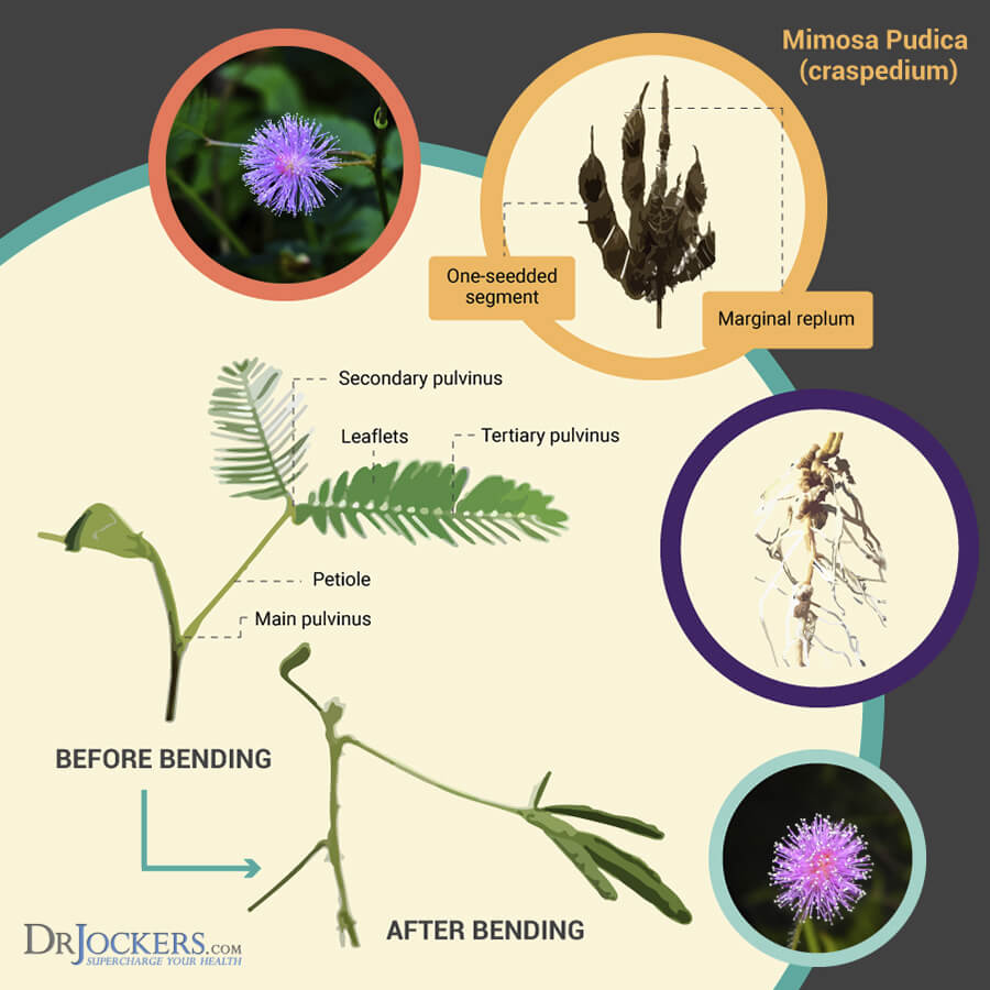 mimosa pudica, Mimosa Pudica– The Most Powerful Herb for Parasites?