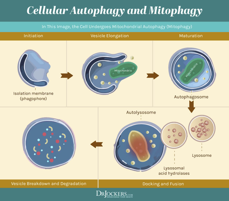 Enhance autophagy, 7 Herbs That Enhance Autophagy and Cellular Healing